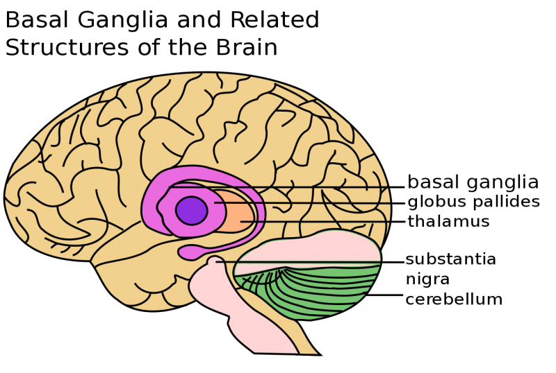 1280px-Basal_Ganglia_and_Related_Structuressvg.png