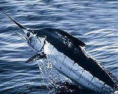 266px-Atlantic_blue_marlin.jpg
