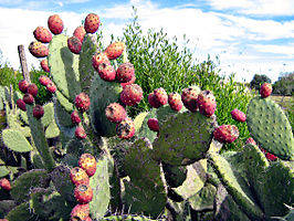 266px-Indian_Fig_-_Opuntia_ficus-indica.jpg