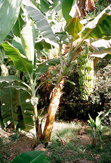 375px-Luxor_Banana_Island_Banana_Tree_Egypt_Oct_2004.jpg