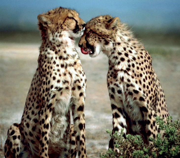 Two_cheetahs_together-1.jpg