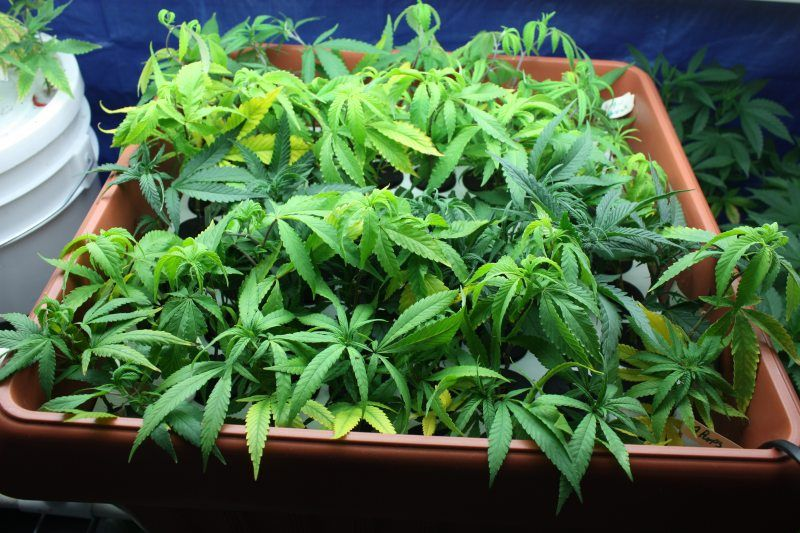 cannabis-clones-in-box_large.jpg