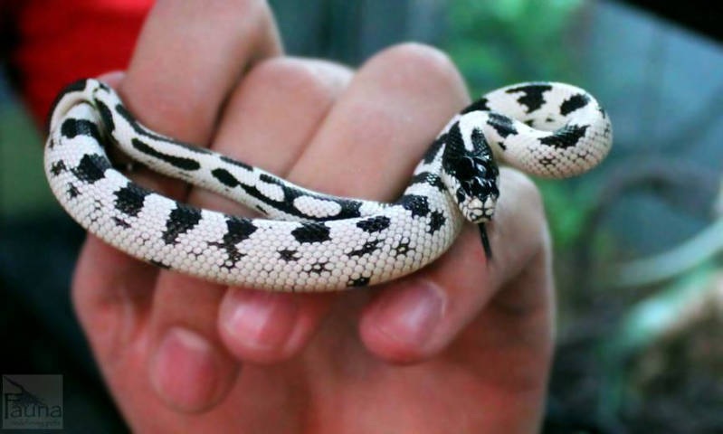 high-white-California-Kingsnake.jpg