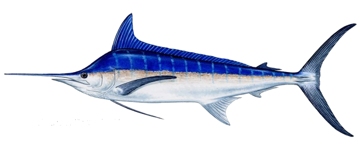 marlin_blue.png