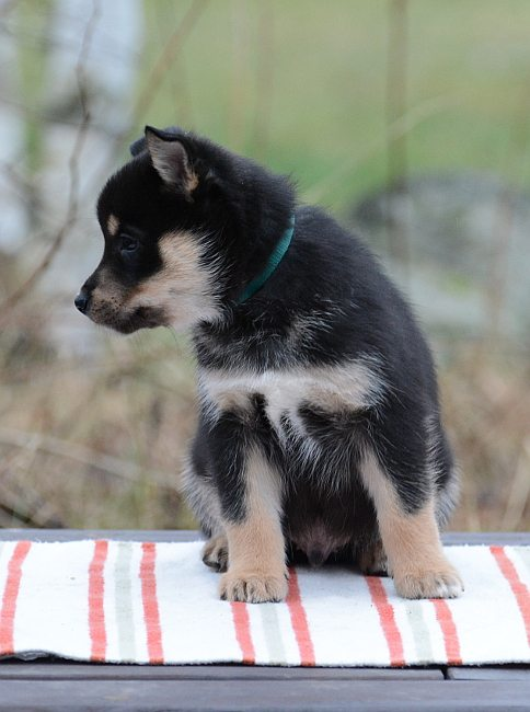 lappsk vallhund of storm valley