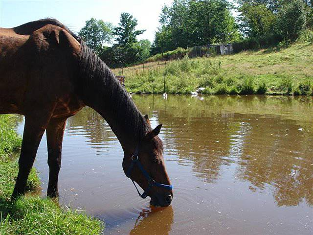 horse-drinking-water-from-pond.jpg