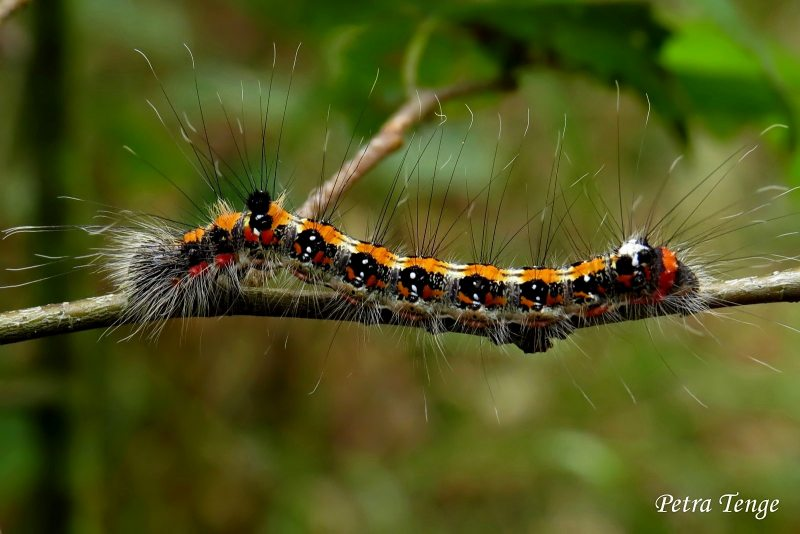 drietand-acronicta-tridens-006a.large.jpg