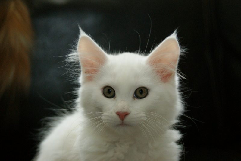 maine coon kitten,solid white green eyes poes female cattery keitaro