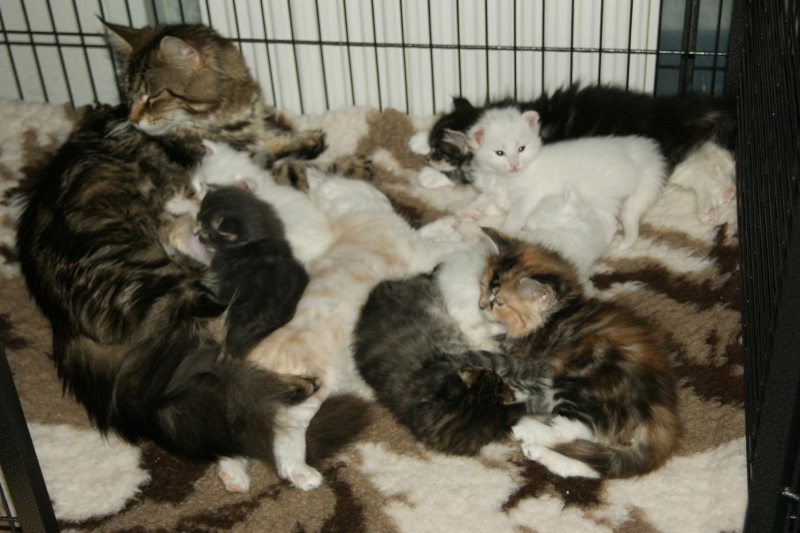 Maine Coon kittens te koop, wit, blue tabby mackerel , black tabby mackerel