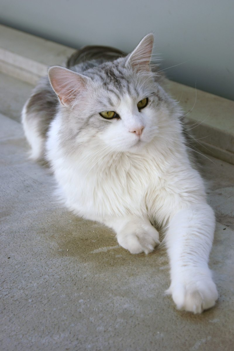 Maine Coon black tabby blotched white