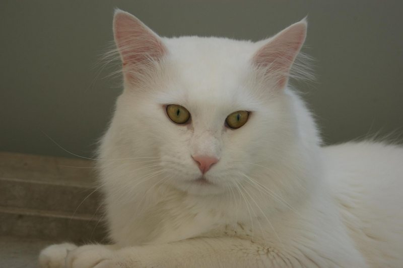 Maine Coon solid white
