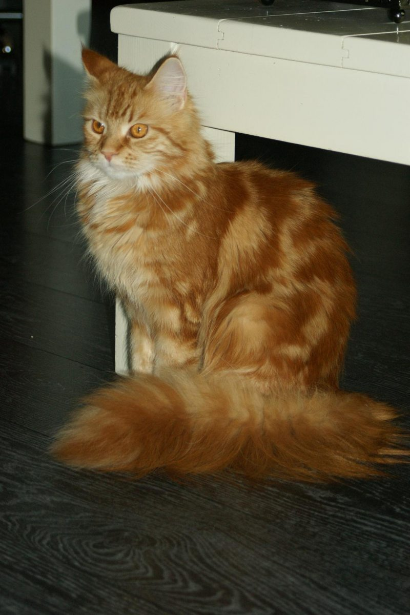 Maine Coon red tabby blotched
