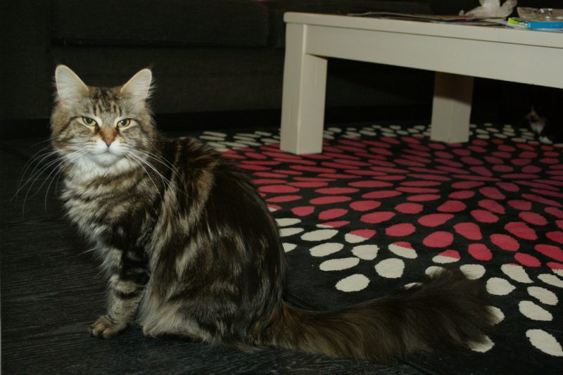 Maine Coon Chilli black tabby blotched