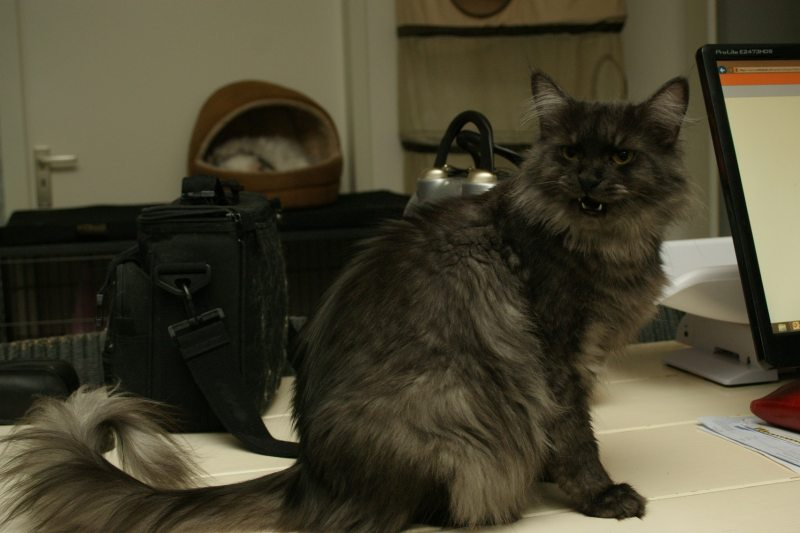 Maine Coon Black Bee black smoke