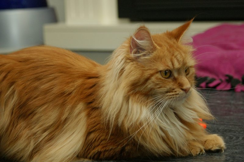 Maine Coon Vlinder red tabby blotched