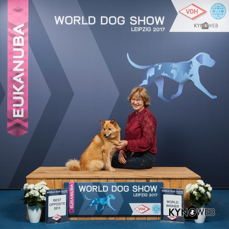 worlddogshow-2017-finnish-spitz-of-storm-valley-.jpg