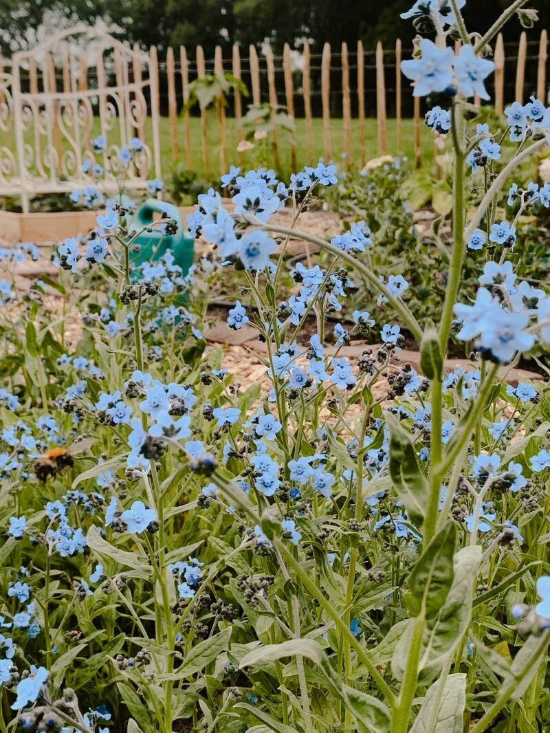 Chinese-forget-me-not