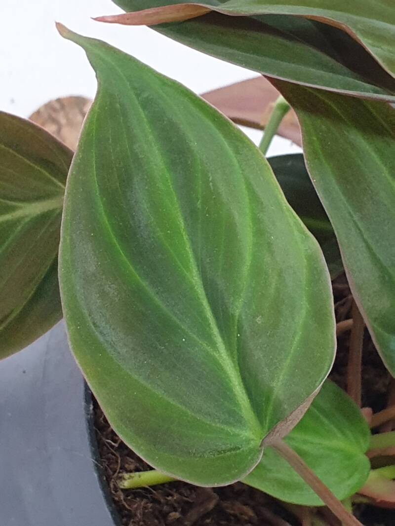 Philodendron Hederaceum Micans ø12