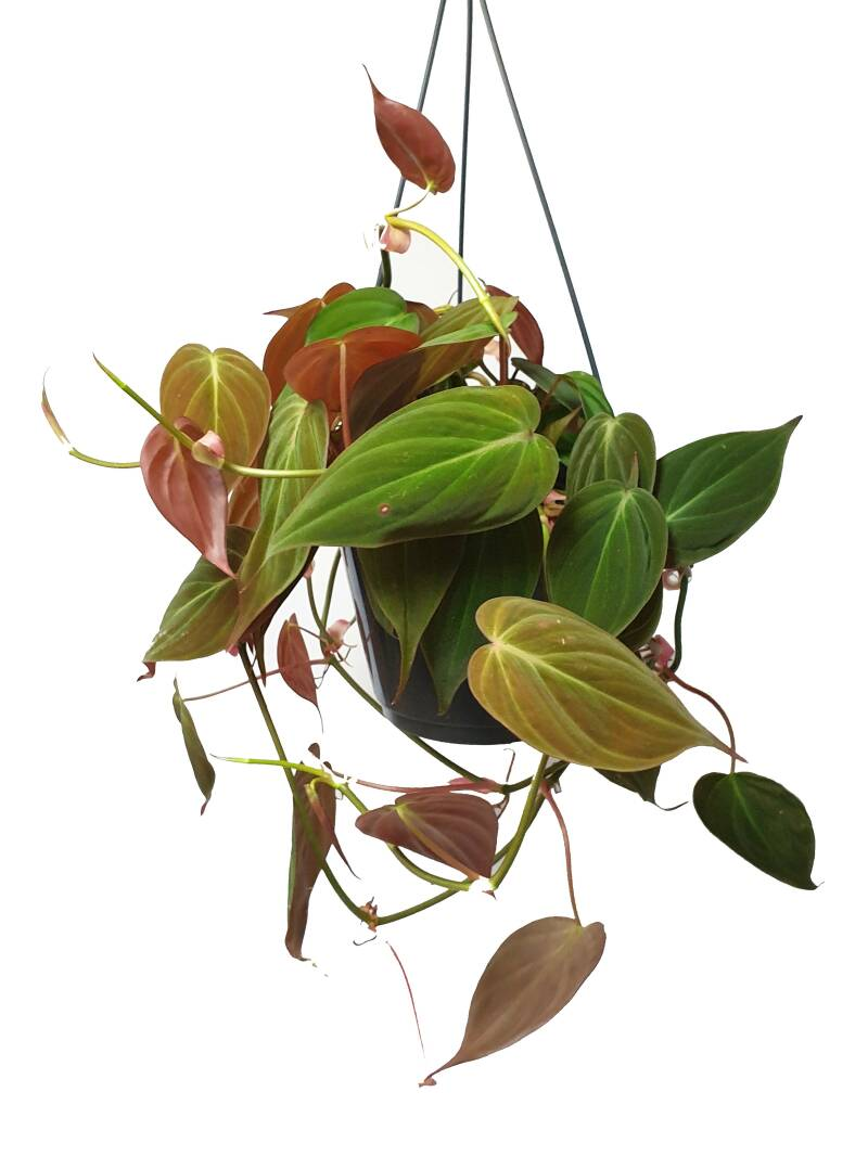 Philodendron Micans Hanger
