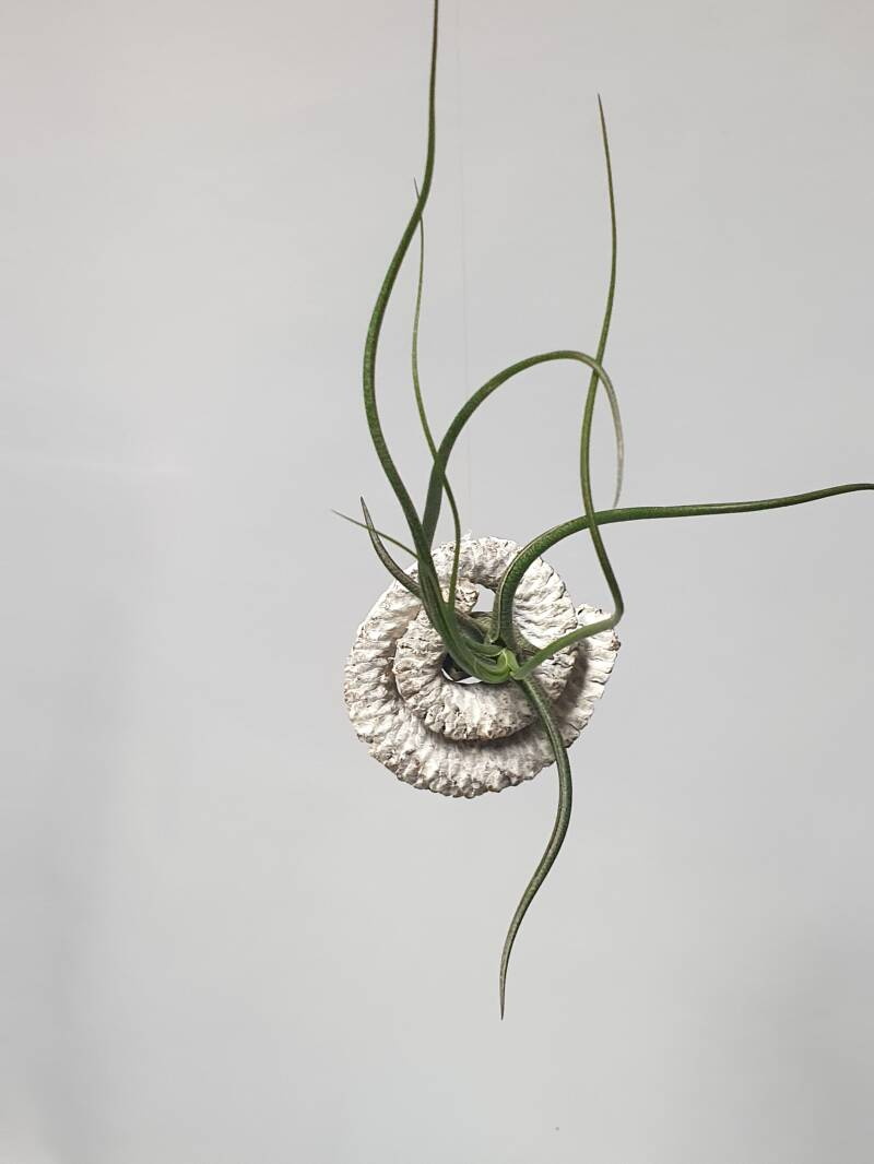 Tillandsia in rol