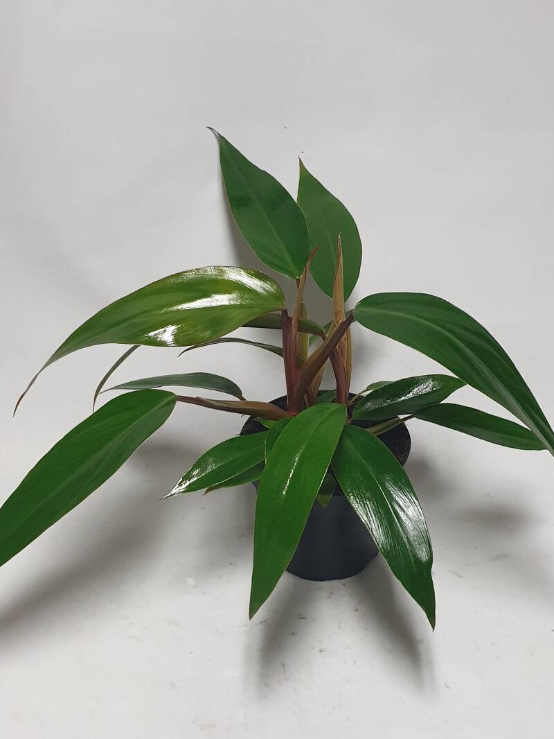Philodendron Ruby Princess