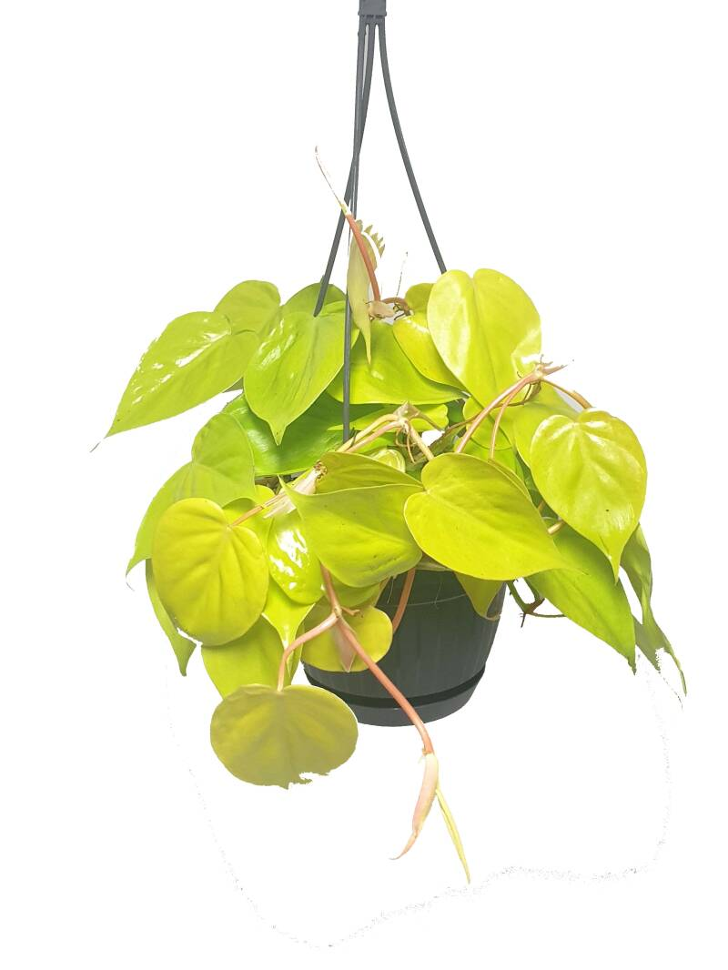 Philodendron Micans Lime hangpot
