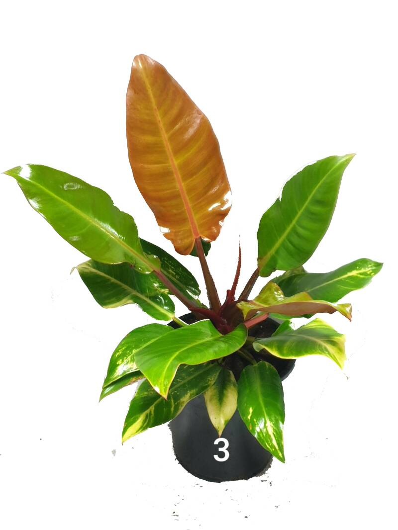 Philodendron Prince of Orange XL