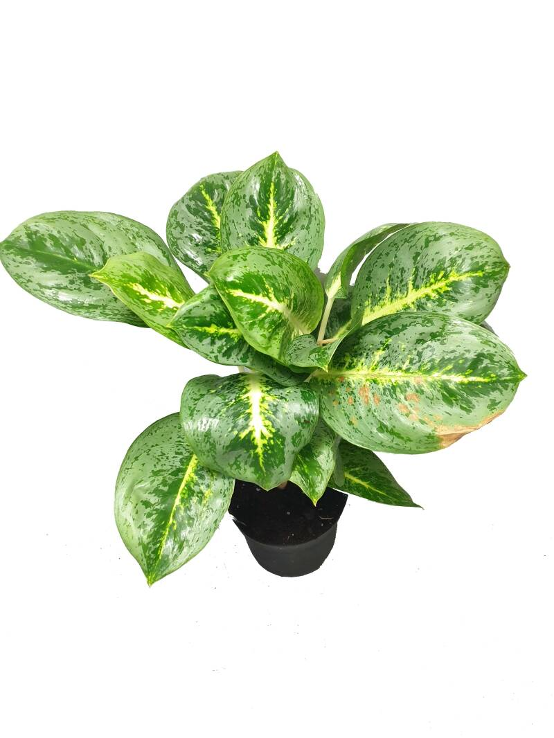 Aglaonema Lemon Mint ø15
