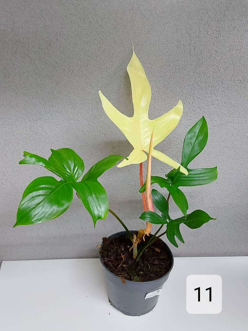 Philodendron Florida Ghost live foto
