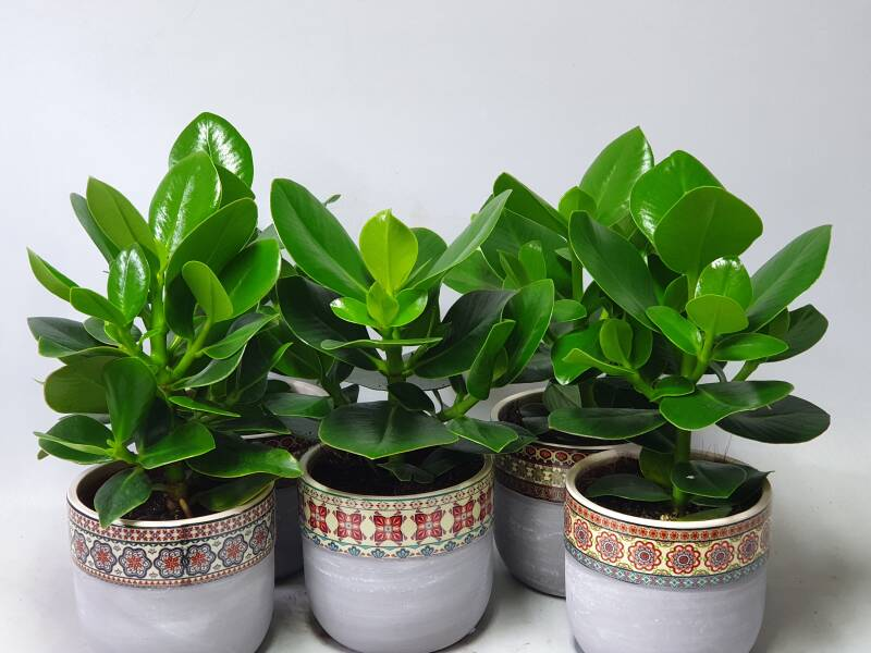 Clusia Rosea Princess incl pot kermaiek assorti