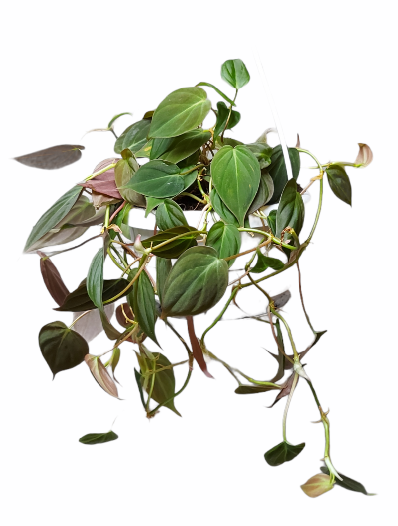 Philodendron Micans hang of rek