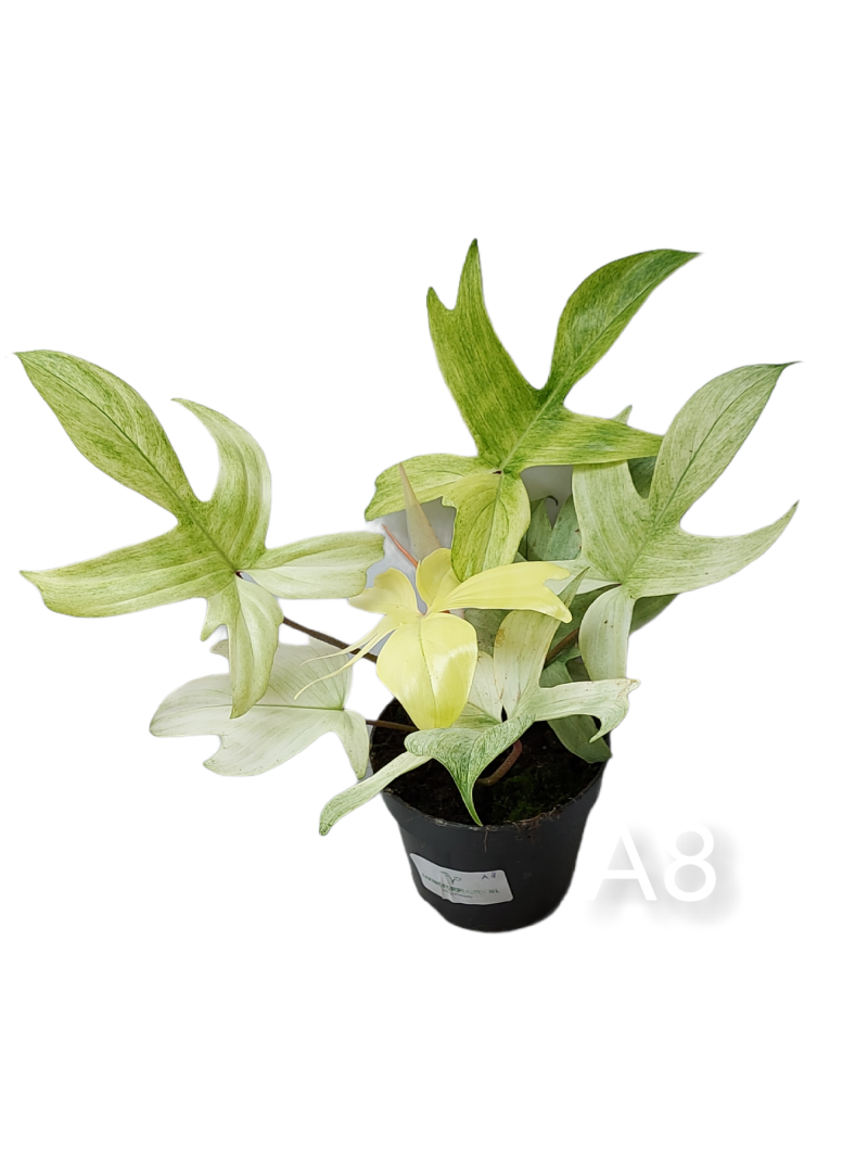 Philodendron Florida Ghost #A8