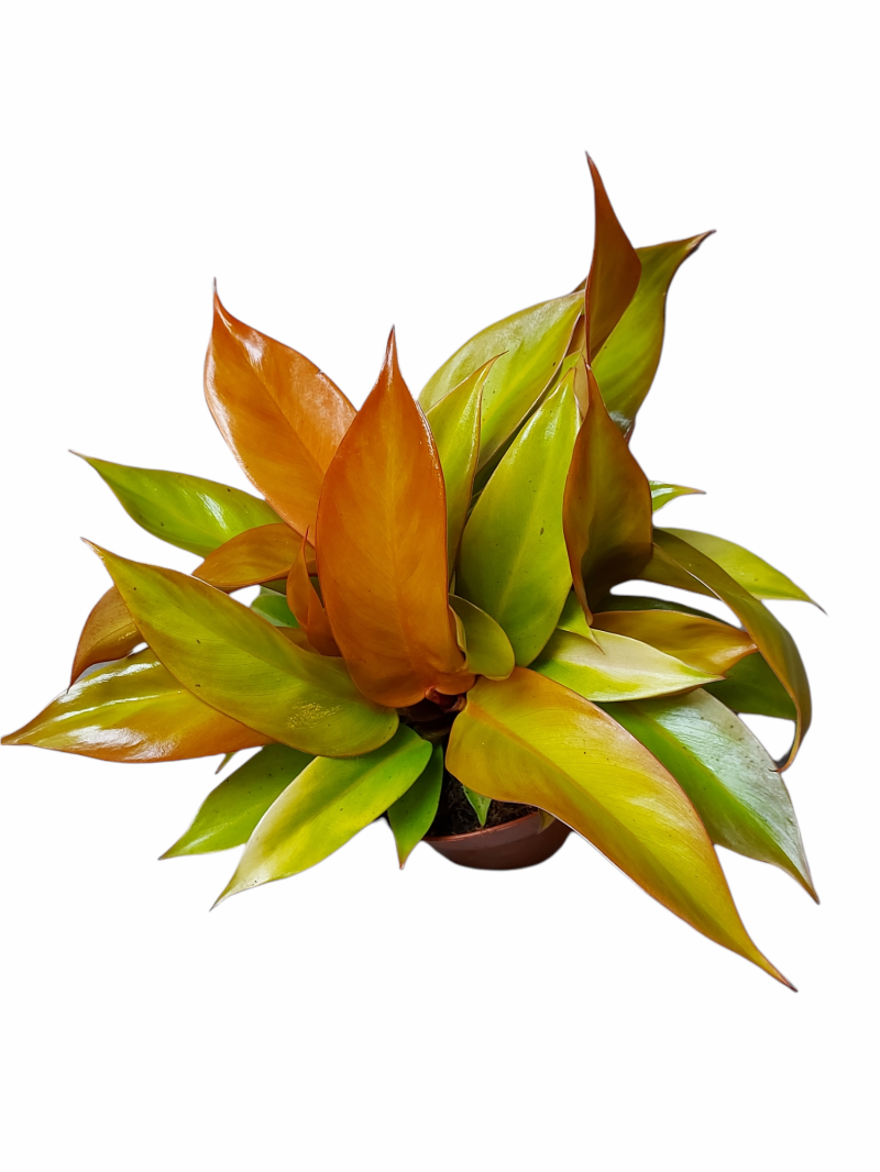 Philodendron Selloum Red
