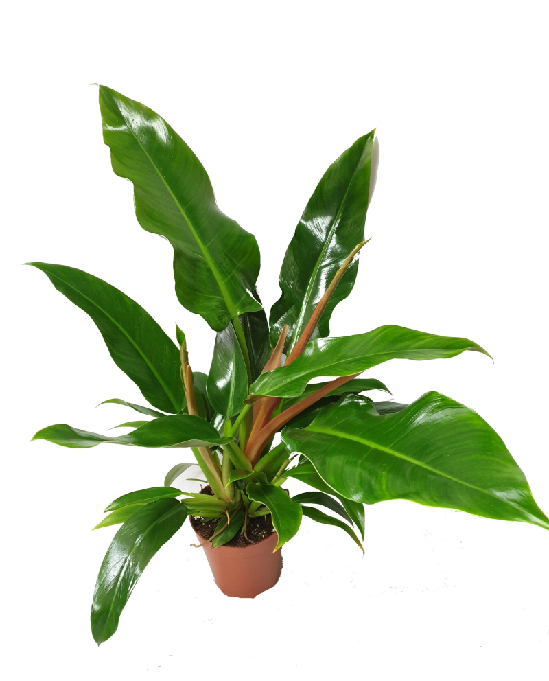 Philodendron Little Phil