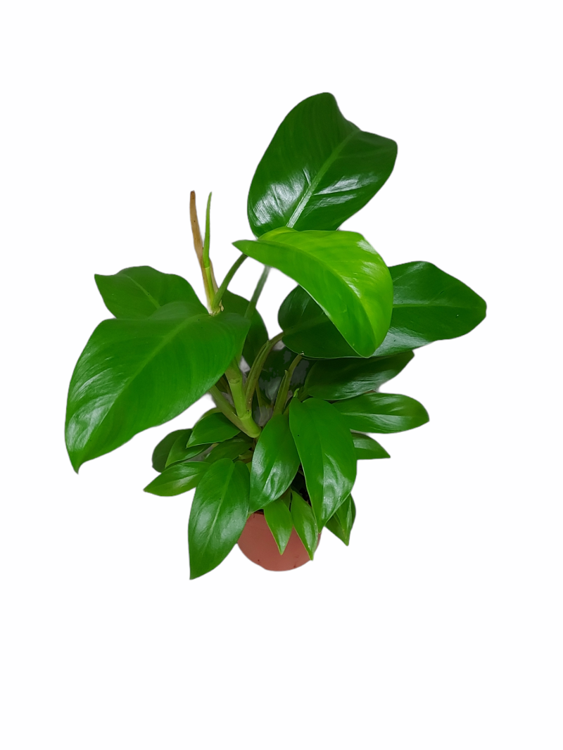Philodendron Green Princess