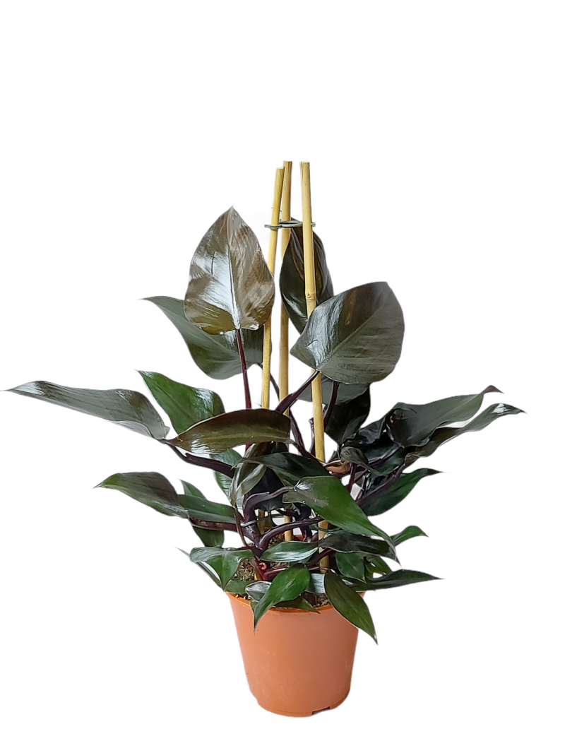 Philodendron Ruby op bamboe pyramide
