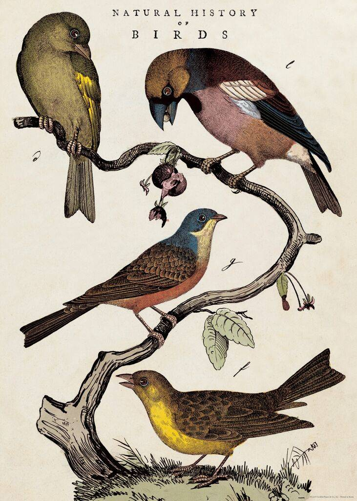 "Cavallini poster ""Natural History of Birds"""