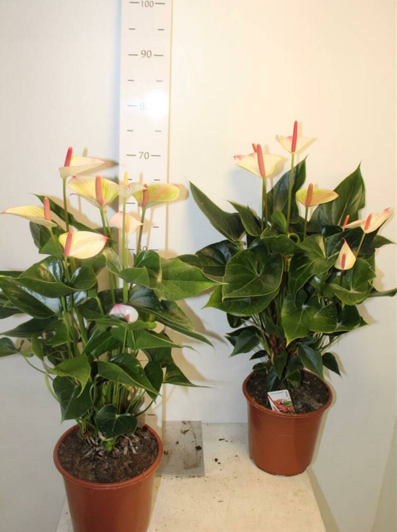 MEGA DEAL!!! Anthurium champ XL