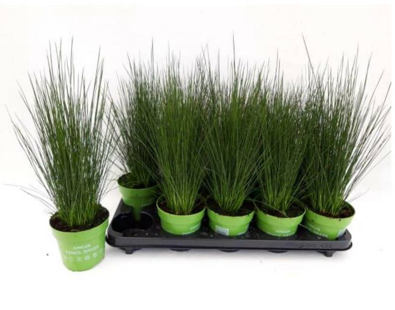 MEGA DEAL!!! Juncus pencil gras, 8 planten