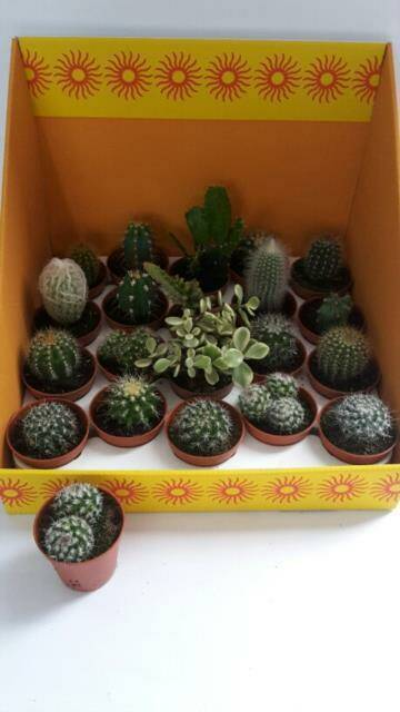 Cactus mix mini,  hele bak €13,95