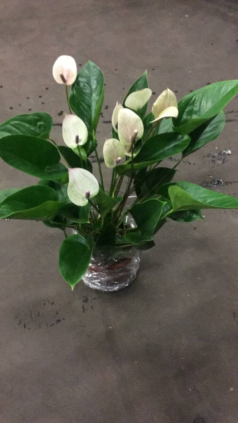 Anthurium Mozaiek