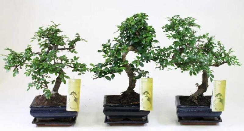 Bonsai gemengd, €12,50