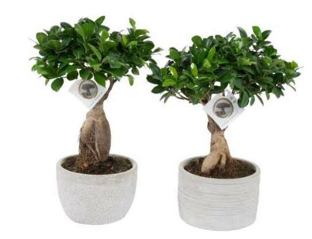 Ficus ginseng bonsai met pot