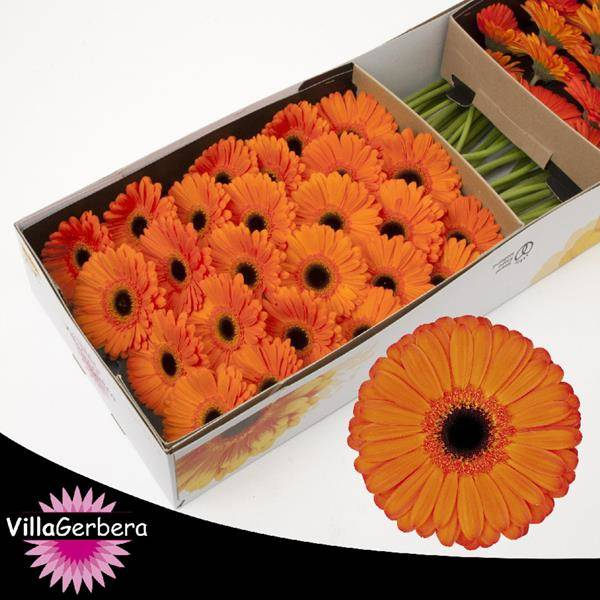 Gerbera Applause, Hele doos €10,00