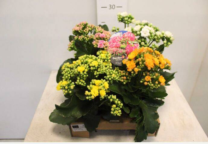Kalanchoe tray mix, €10,00