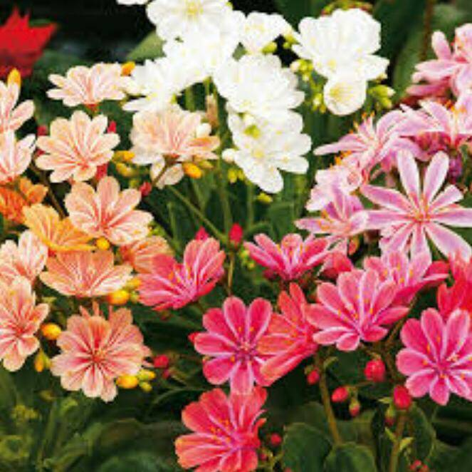 Lewisia dreams mix, 3 voor €15,00