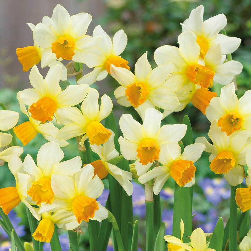 Narcis spring sunshine, 4 voor €10,00