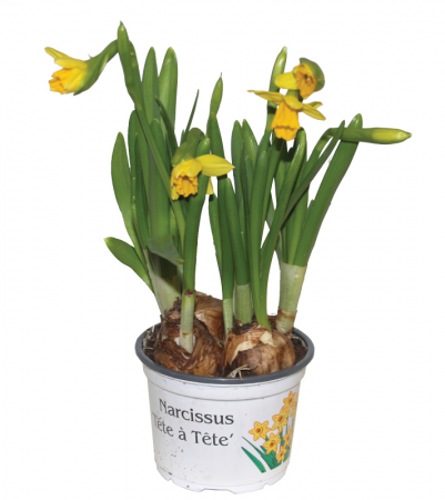 Tete a Tete in pot, 4 voor €10,00