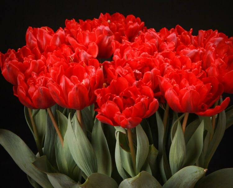 Tulp red princess XL , 50 stuks €15,00