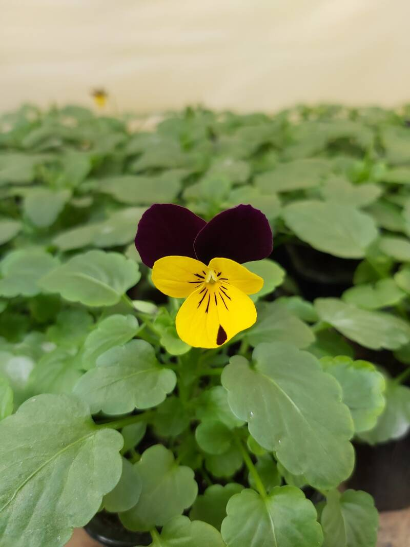 Viola cornuta Sorbet Yellow Burgundy Jump Up